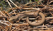 Northern alligator lizard - Elgaria coerulea