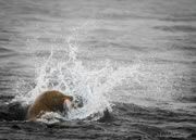 Sea lion catches a salmon at Race Rocks