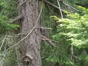 raccoon in a big coastal Douglas-fir