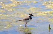 Killdeer at Albert Head