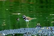Killdeer at Albert Head Lagoon