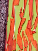 the peeling red bark from a bright green Arbutus trunk is very distinctive