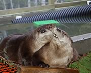 River Otters in care